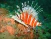 Feuerfisch - mal von der Seite beim Nachttauchgang auf Lap